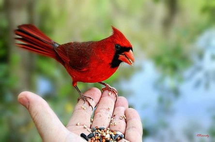 cardinal-2
