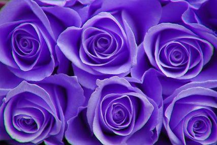 purple-roses-4